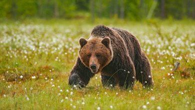 napal medved'