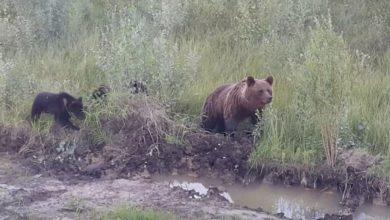 medved' v kachkanare